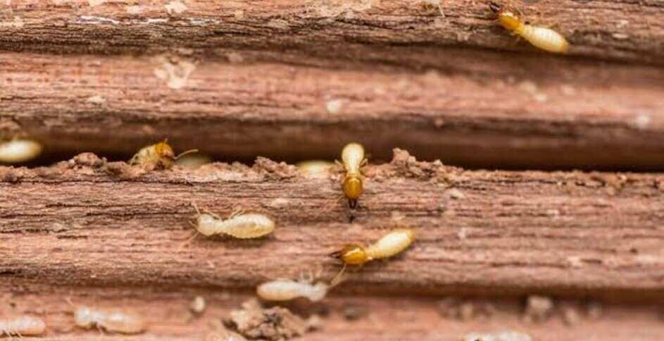 termites eating decking